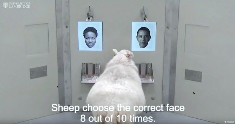 Sheep show a flair for recognizing faces